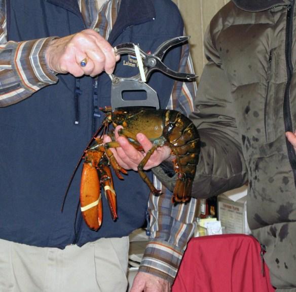 man measuring lobster Acadian Rappie Pie