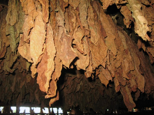 tobacco leaves drying -The Perfect Cigar -Cuba's Gift to the World