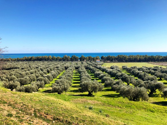 rowsof olive trees stretch to the sea