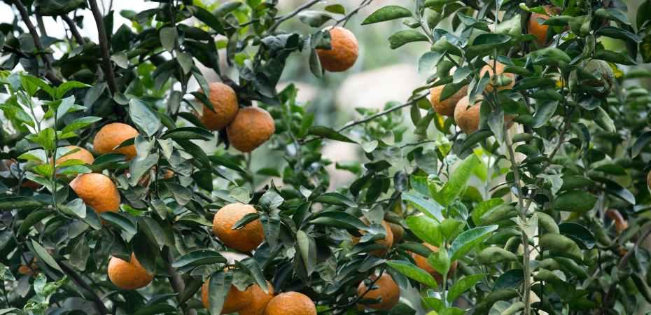 food week indoor citrus growing