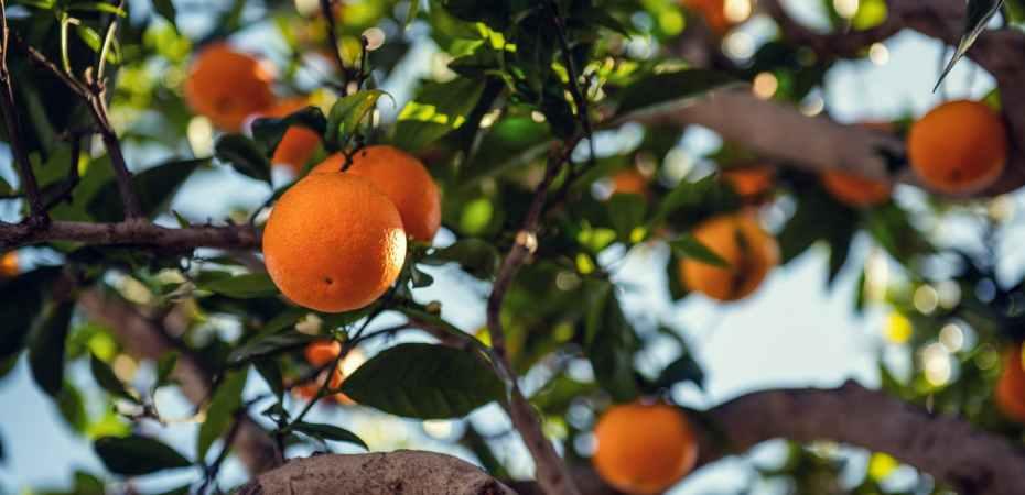orange fruit on tree