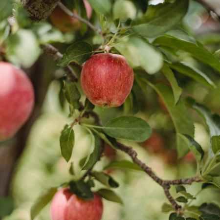 ripe red fresh apples food week august 30