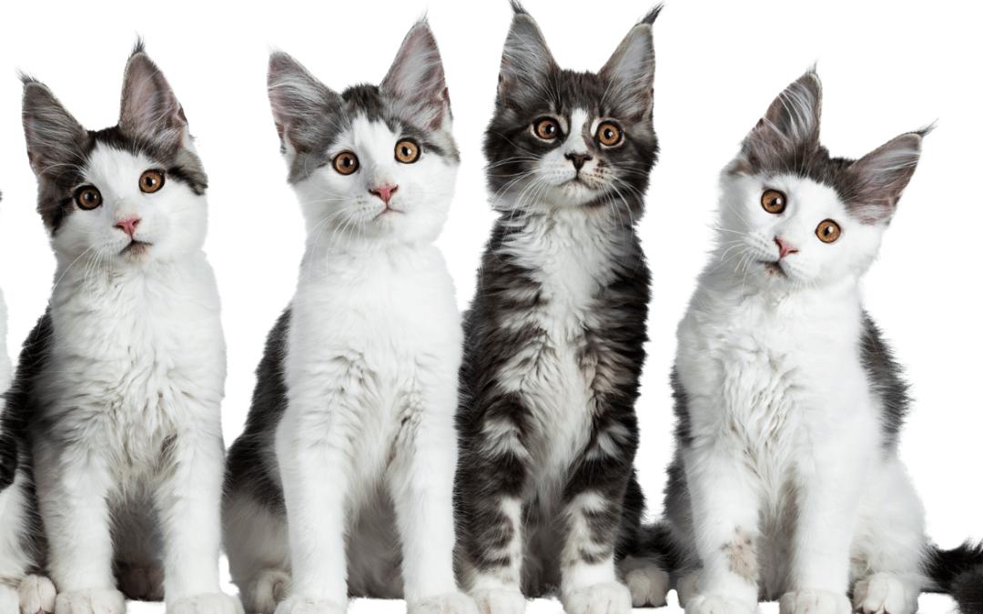 La esterilización en gatos Maine Coon