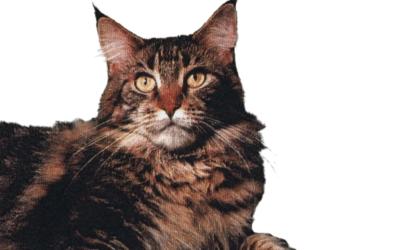 El origen del gato Maine Coon: la influencia de los clones.