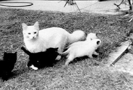 Josephine con su primera camada de gatitos ragdolls
