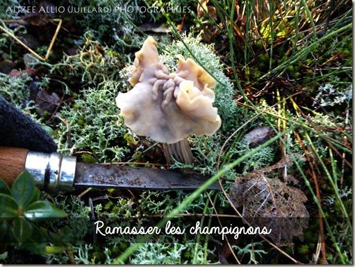 Ramasser les champignons oreillettes couper