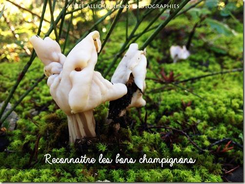 Ramasser-les-champignons-oreillettes-copie_thumb
