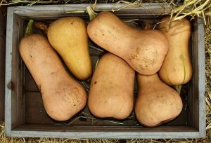 butternut : courge d'automne pour de délicieuses recettes