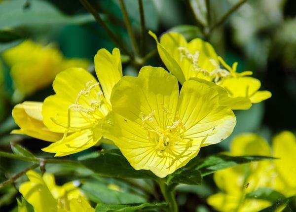 月見草油的8種功效及副作用(第1種常被用到) - 營養新知
