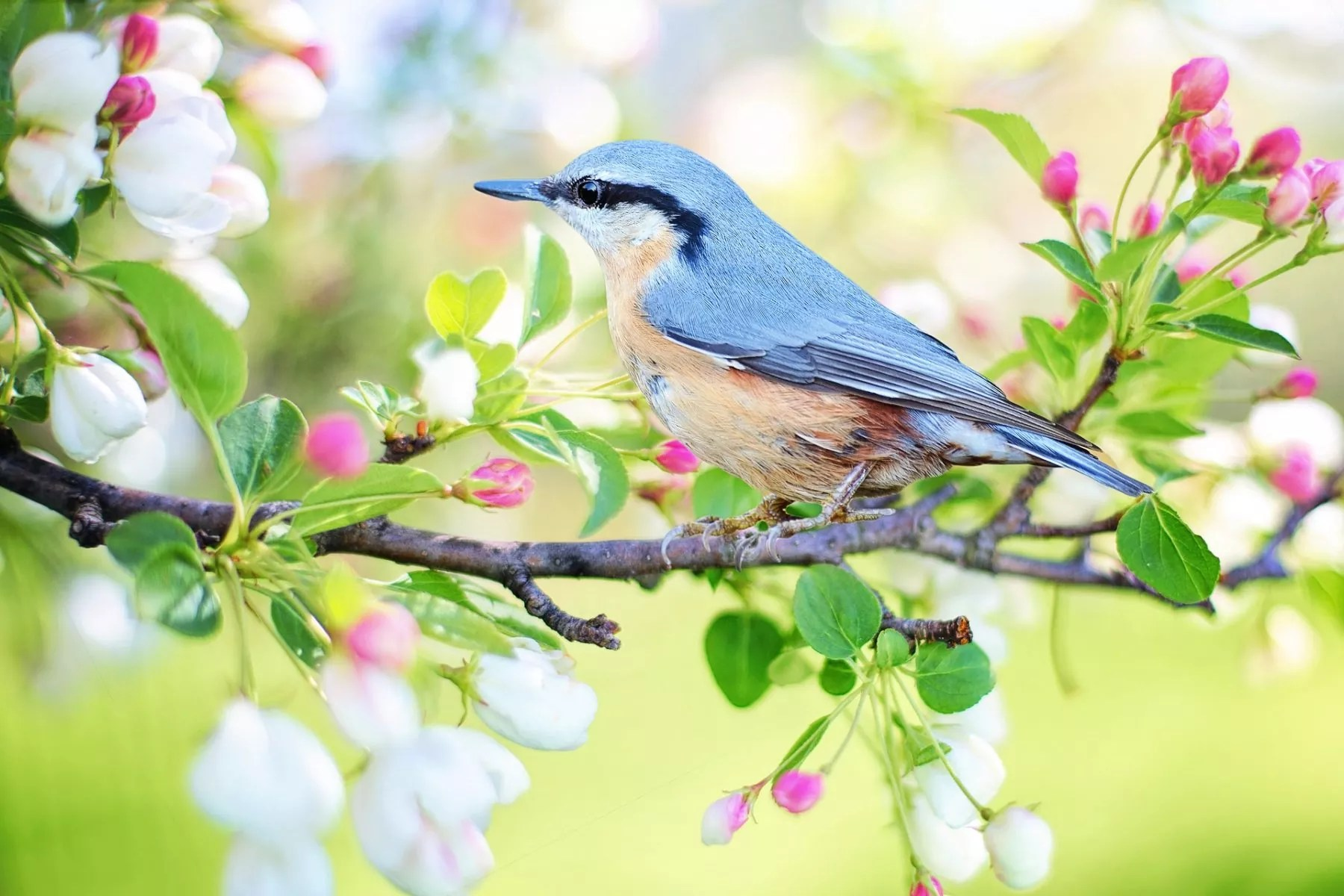Bluebird sitting in a tree of budding blossoms.