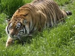 betstars tigre agazapado foronaranja