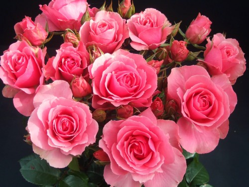 rosas fondo