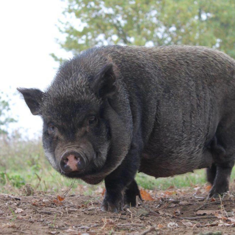 Jacky in de varkensweide