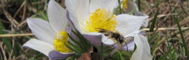 male Andrena on Pasque flower