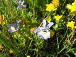 Downingia and Lasthenia at Jepson Prairie
