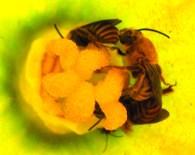 Peponapis pruinosa in squash flower