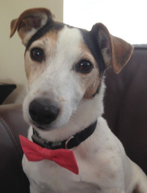 Milo our Jack Russell here in Fort Lauderdale