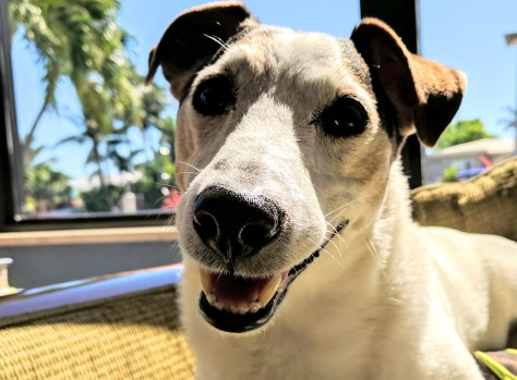Milo my Jack Russell at a pet friendly Fort Lauderdale condo