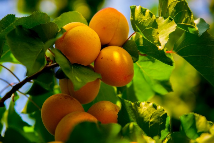Bundle of beautiful Blenheim apricots