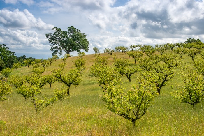 Packard Ranch apricot orchard