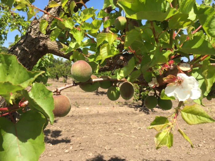 Late bloom on apricot tree in Saratoga Heritage Orchard