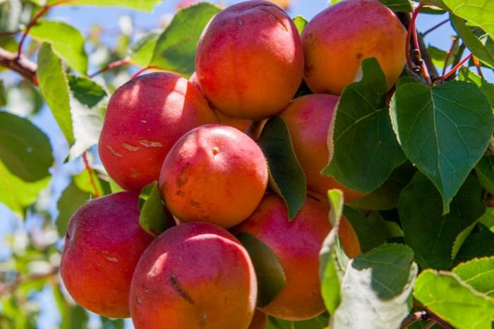 Bonny Royal apricots