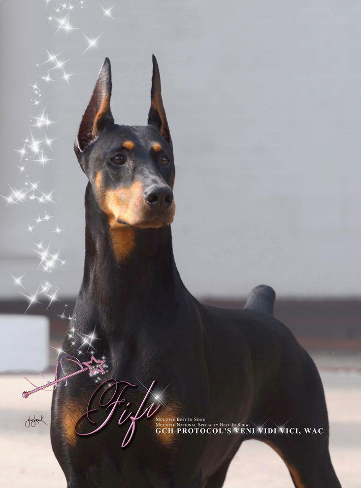 warlock doberman pinscher 18 - photo #21