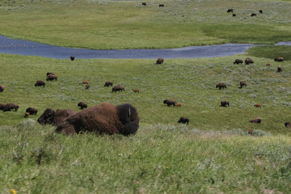 A Giant Herd of Buffalo in the Prarie