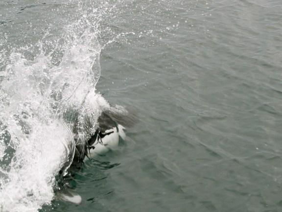 Dall Porpoise- Kenai Fjords