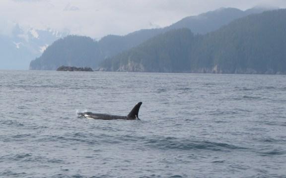 Orca- Kenai Fjords