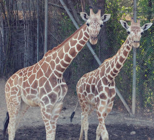 Ugulates-Safari-Park-Zoon-Giraffes-1