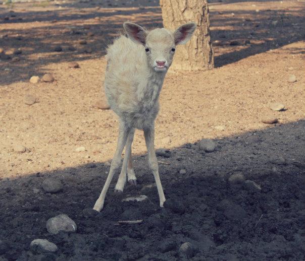 Ungulates-Safari-Park-Deer-3