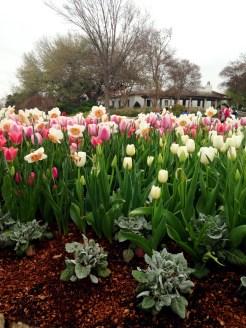 Pretty mix Tulips + Daffodils