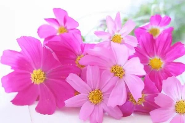 コスモスの花言葉を理解した気持ち伝わる贈り方6選