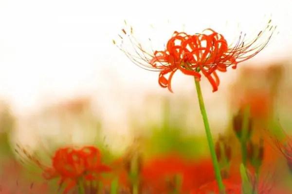 彼岸花の花言葉を理解した気持ち伝わる贈り方6選