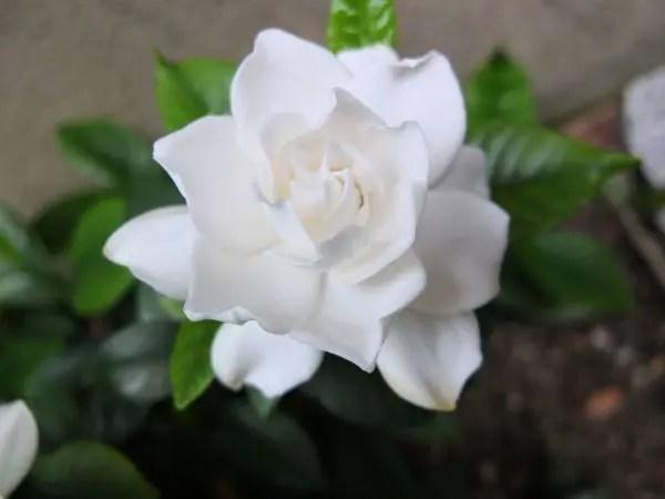 幸せな花言葉③ いつも幸せ。いつもありがとう。を贈るクチナシ