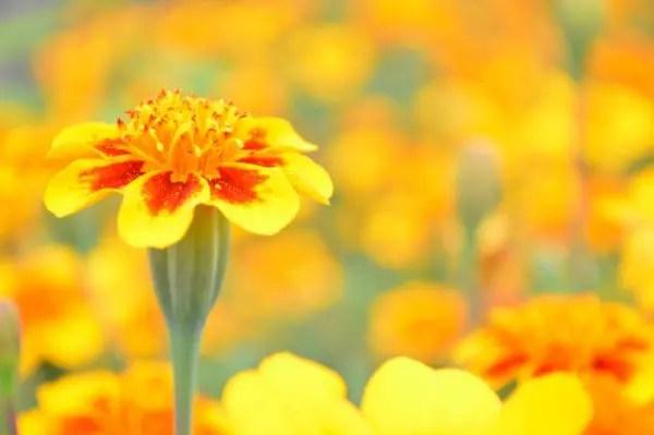 悲しい花言葉④人生の悲しみを歌うマリーゴールド