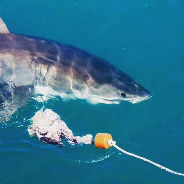 Adventure for adrenaline seekers: Shark Cage Diving, Gansbaai, South Africa