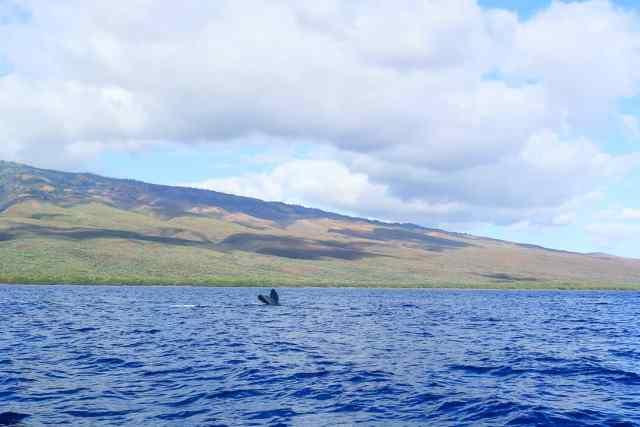 Whale Watching Maui