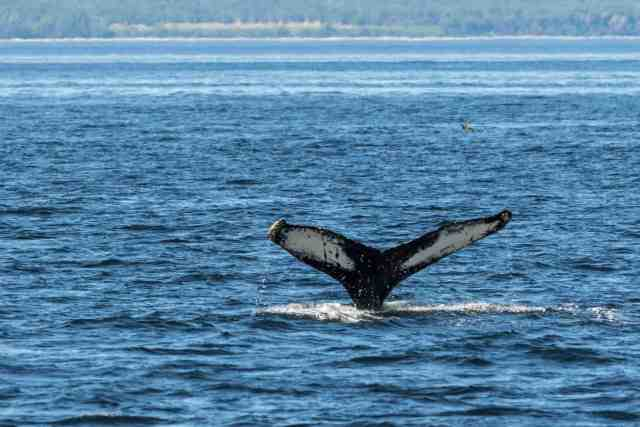 humpback whale in Quebec Maritime