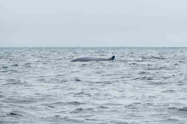 Whale Watching Gaspe