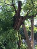 Oldest tree in Paris!