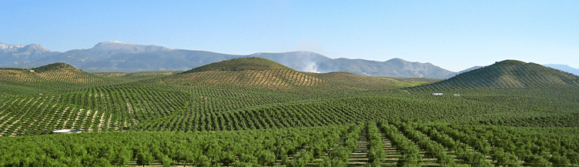 cropped-olive-grove-andalucia-spain