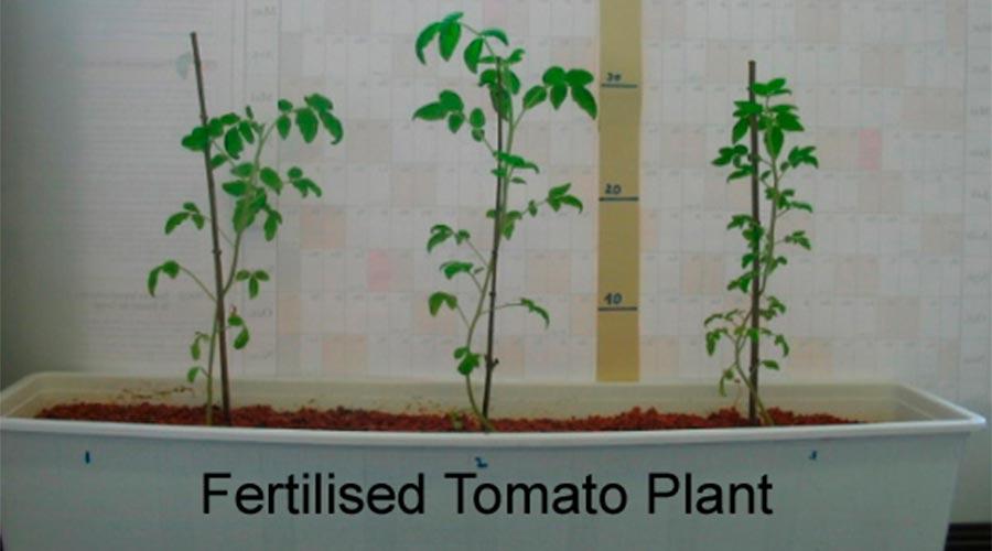 tomaquera amb abonament fertilitzant