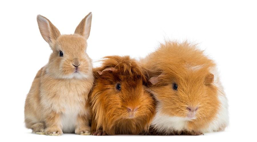 Diferents tipus de cobais o conills d'índies