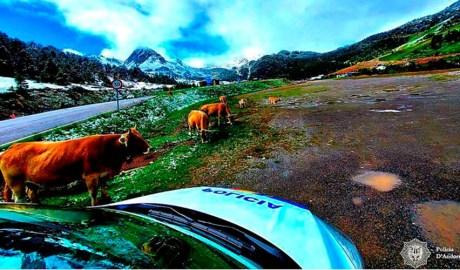 Vehicle policial i vaques