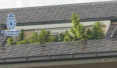 Una plantació de marihuana en una terrassa del centre de la Seu d'Urgell