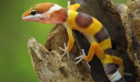 Gecko Lleopard