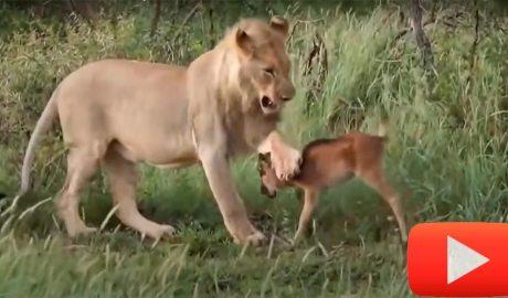 animals salvant-ne d'altres