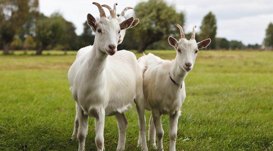 cabres